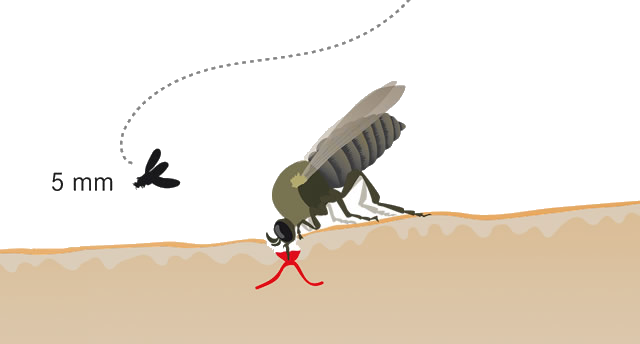 kriebelmuecke-nahaufnahme